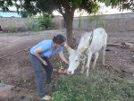 Sudan Południowy: Byk, który nosił imię Chol